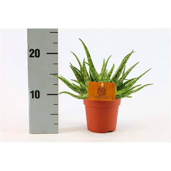 <h4>Aloe spider 10,5 cm</h4>