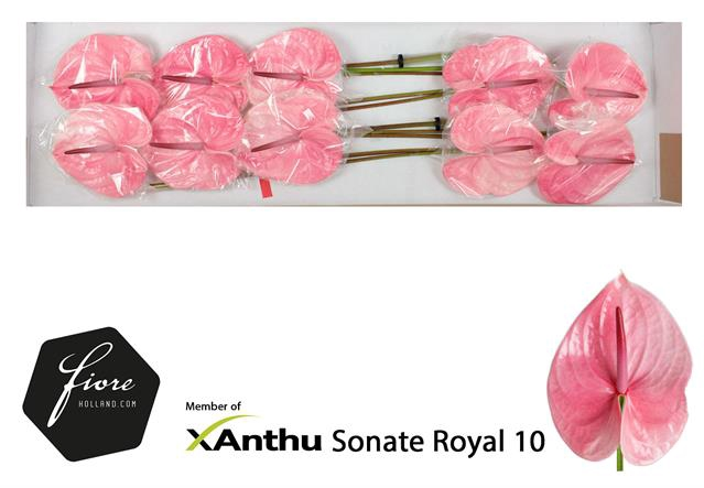 ANTH A SONATE ROYAL
