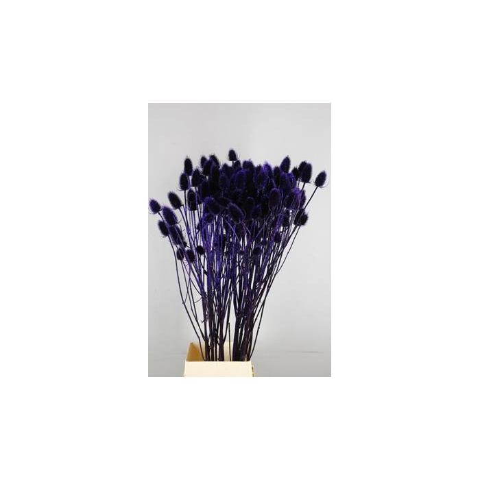 <h4>Dipsacus Paint Aubergine+glitt</h4>