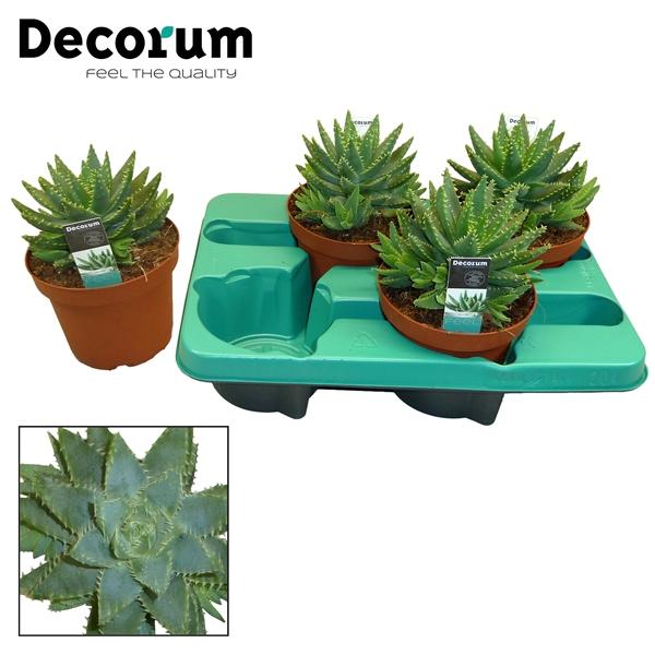 <h4>Aloe brevifolia</h4>