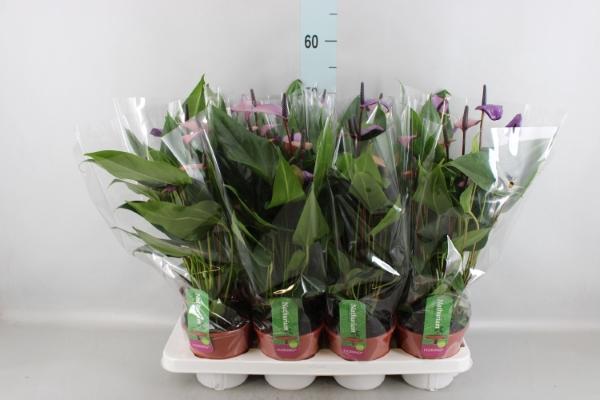 <h4>Anthurium andr. 'Fiorino'</h4>