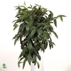 Aeschynanthus Marmoratus 17Ø 60cm