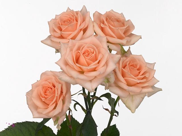 Rosa sp. Sweet Sara