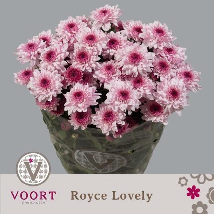 <h4>Chr T Royce Lovely</h4>