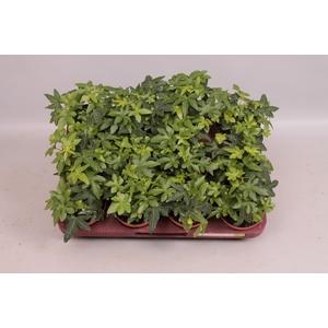 Hedera Helix groenbladig div