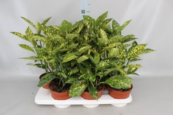<h4>Aucuba japonica 'Crotonifolia'</h4>
