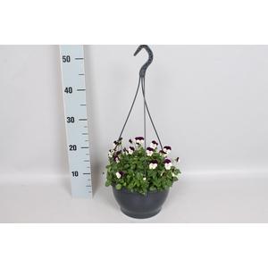 Hangpot 23 cm viool Cornuta White Purple Jump Up
