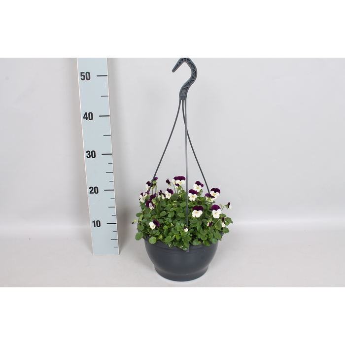 <h4>Hangpot 23 cm viool Cornuta White Purple Jump Up</h4>
