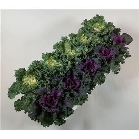 <h4>Brassica Gekruld Mix</h4>