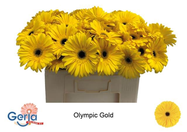 <h4>GE GR OLYMPIC GOLD</h4>