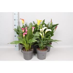 vaste planten 19 cm Zantedeschia Diverse