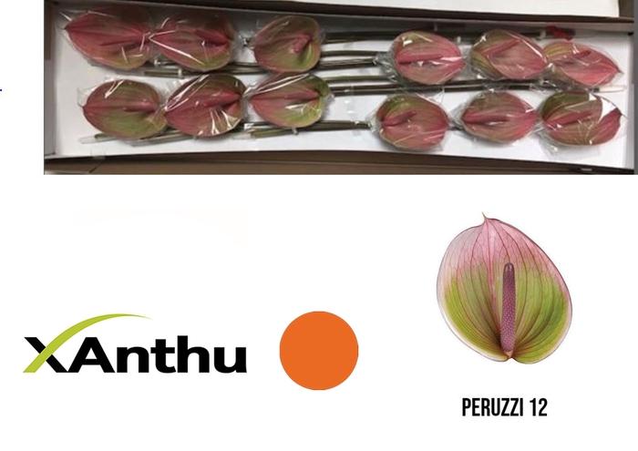 <h4>ANTH A PERUZZI</h4>