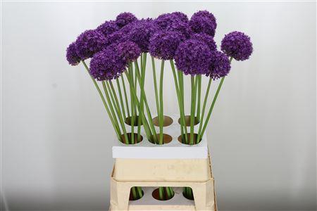 <h4>Allium Ambassador X6</h4>