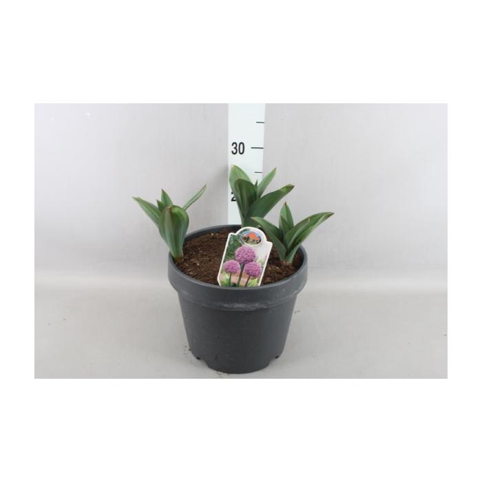 <h4>Allium</h4>