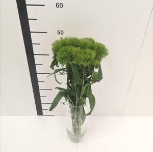 Dianthus barbatus Green Trick