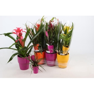 Bromelia arrangement 13Ø 50cm
