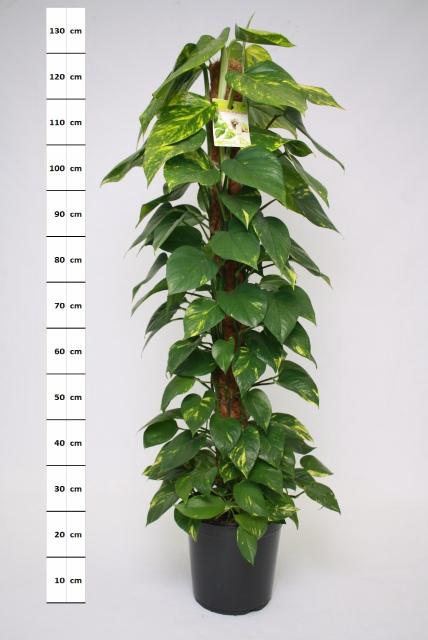 <h4>Epipremnum pinnatum mosstok 24Ø 120cm</h4>