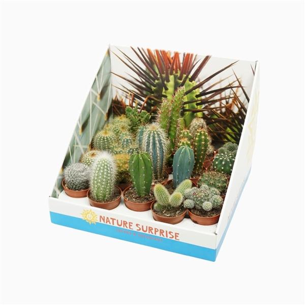 <h4>Cactus mix 5,5 cm. in presentatiedoos</h4>