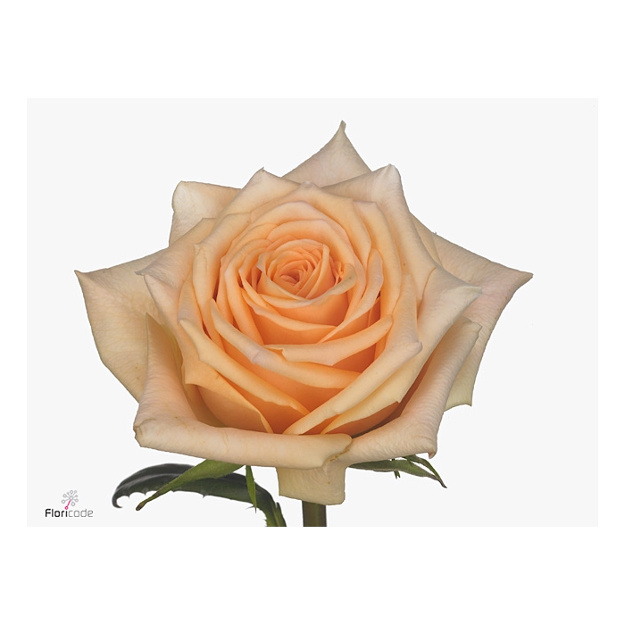 <h4>Rosa large flowered Prosecco</h4>