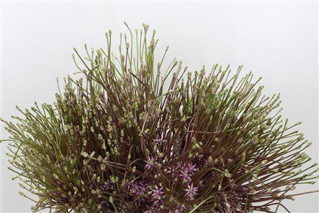 <h4>Allium Schubertii</h4>