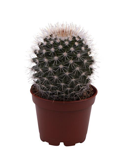 <h4>Mammillaria Geminispina 6Ø 18cm</h4>