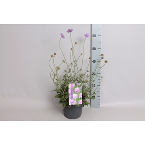 vaste planten 12 cm  Scabiosa columbaria butterfly blue