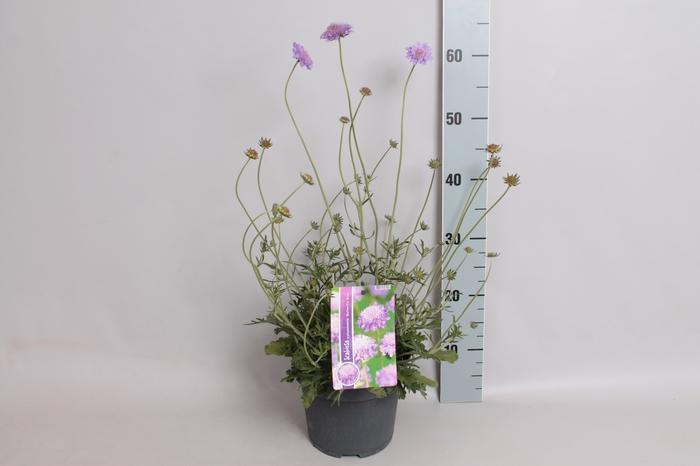 <h4>vaste planten 12 cm  Scabiosa columbaria butterfly blue</h4>