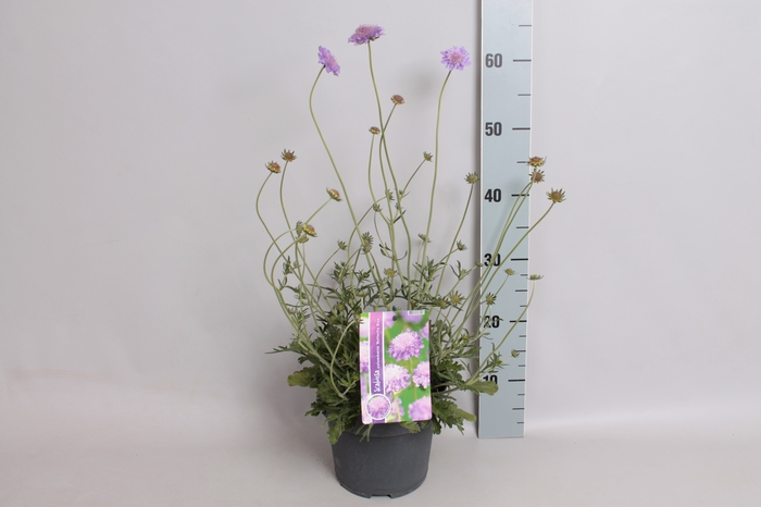 vaste planten 19 cm  Scabiosa columbaria butterfly blue