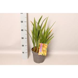 vaste planten 19 cm  Crocosmia Carmine Briljant  Karmijnrood