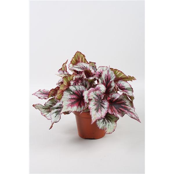 <h4>Begonia Beleaf Evening Glow</h4>