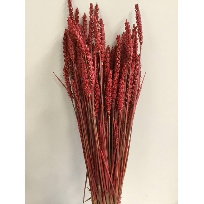 <h4>DRIED FLOWERS - TRITICUM TARWE RED</h4>