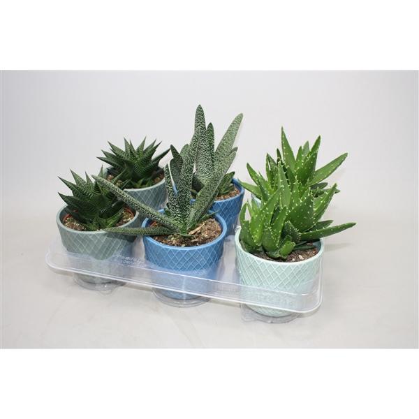 <h4>Aloe mix cp 0979suc</h4>