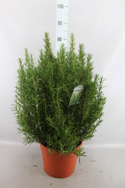 <h4>Rosmarinus officinalis   ...</h4>