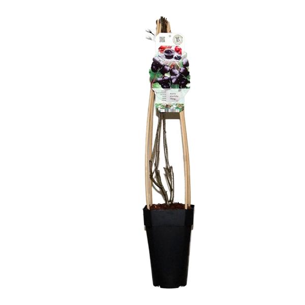 <h4>Aronia pruniflora viking</h4>