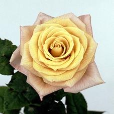 Rosa Gr. Magic Silver