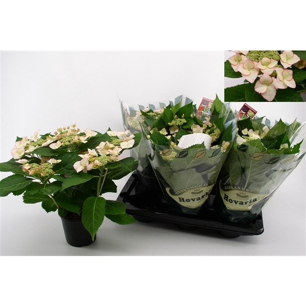 <h4>Hydrangea Hovaria Love You Kiss</h4>