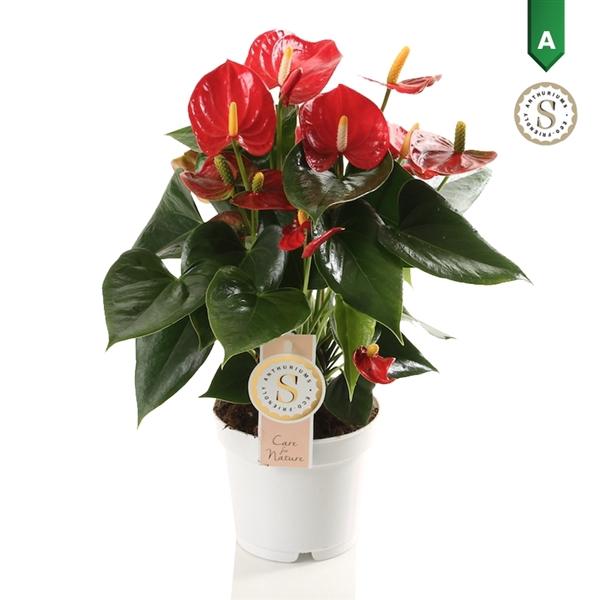 <h4>Anthurium Red Champion</h4>