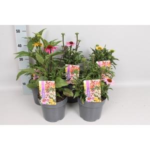vaste planten 19 cm  Echinacea mix