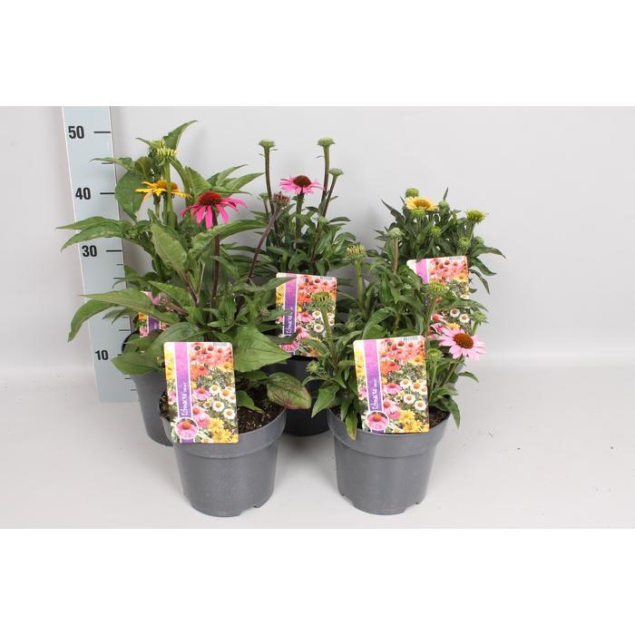 <h4>vaste planten 19 cm  Echinacea mix</h4>