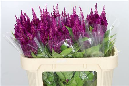 <h4>Celosia Plume Purple Sunday</h4>