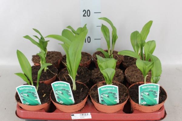 <h4>Allium ursinum</h4>