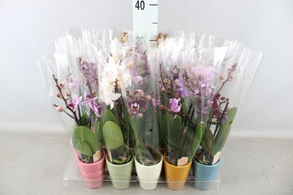 <h4>Phalaenopsis   ...mini</h4>
