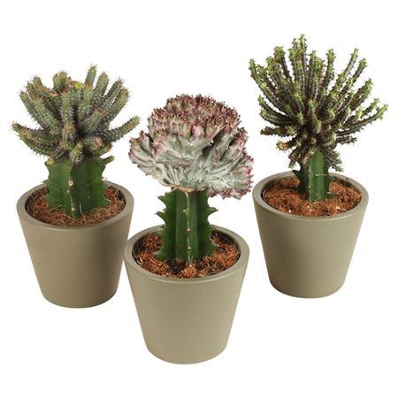 <h4>Cactus Euphorbia Lactea Mix Pot In Ø14cm Karla Kap</h4>