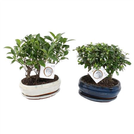 <h4>Bonsai A1213001 Gemengd Forest Keramiek</h4>