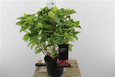 <h4>Hydr Paniculata Pinky 12+</h4>