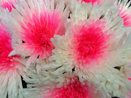 <h4>Chr G Ana White + Pink Neon</h4>