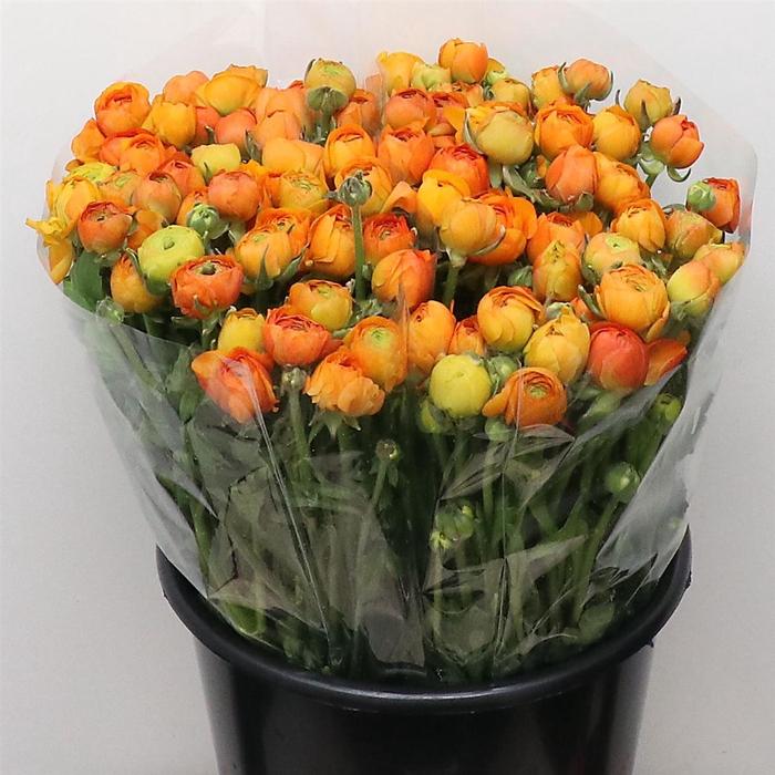<h4>Ran El Orange</h4>