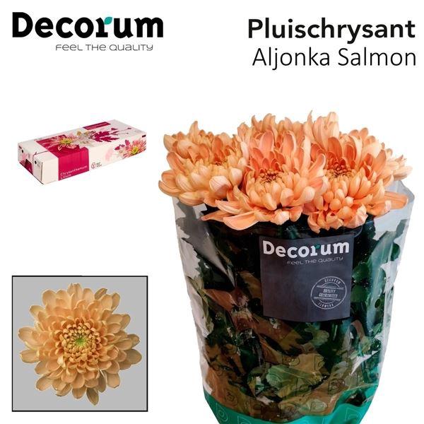 <h4>Chrysanthemum PL 'Aljonka Salmon'</h4>