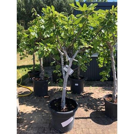 <h4>Ficus Carica Fica2021-19</h4>