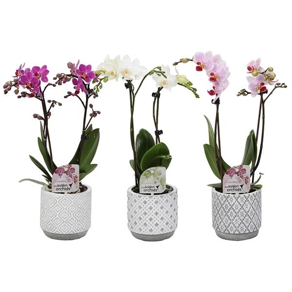 <h4>Phal. little kolibri orchids 2 spike in arabic pot</h4>